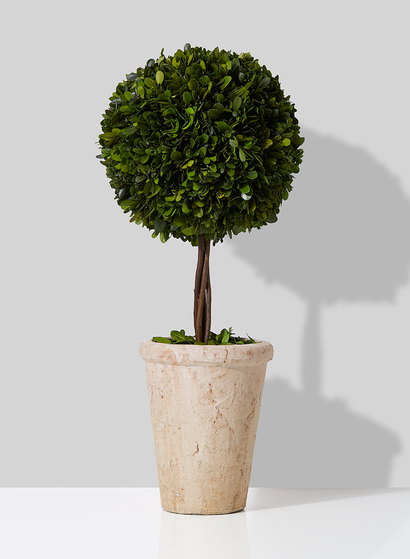 potted round boxwood topiary