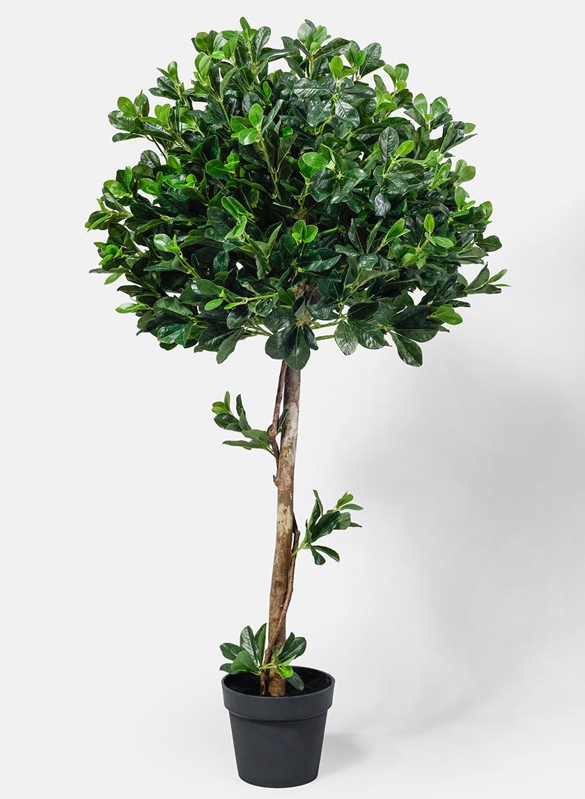51in Geranium Aralia plant
