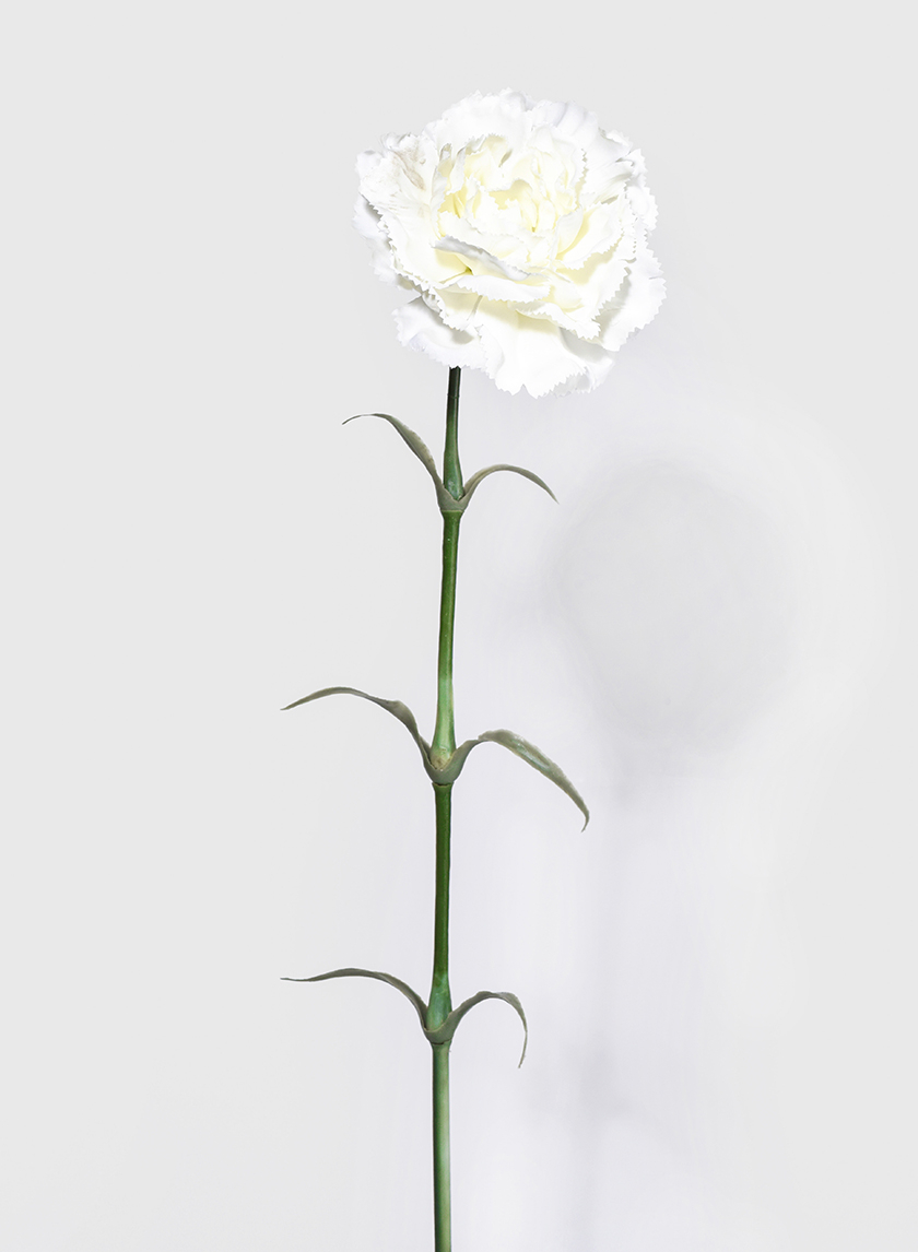 24in White Carnation