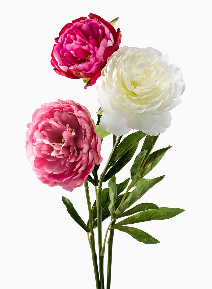 Light Pink, Magenta, & White Peonies