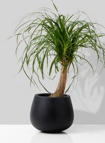 ponytail palm in black ficonstone pot