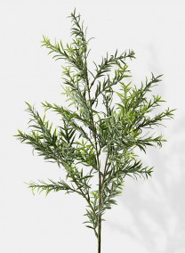 giant rosemary branch