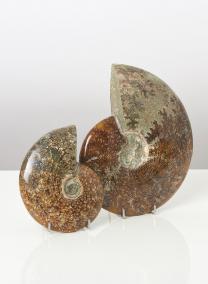 Ammonite Whole Medium