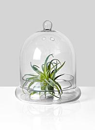 tillandsia in glass bell jar terrarium