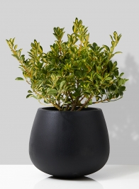 gold spot euonymus in black pot