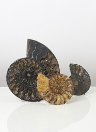 Ammonite Slice (Half) Small