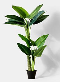 45in Anthurium Plant