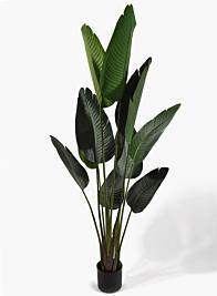57in Banana Plant