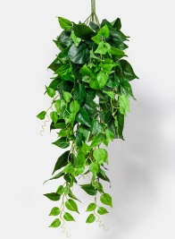 35in Jade Pothos Hanging Bush