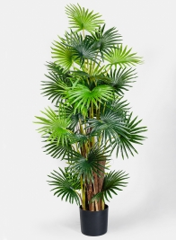 57in Fan Palm Tree