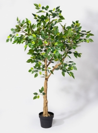 54in Mini Ficus Tree