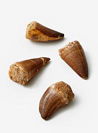 Moroccan Mosasaurus Shark Tooth