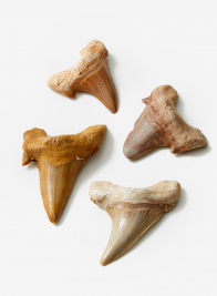 Moroccan Mackerel Ancient Shark Tooth