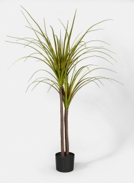 43in Dracaena Plant