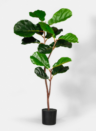 40in Fiddle Leaf Fig Plant