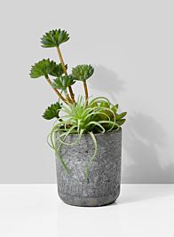 potted tillandsia air plant and echeveria succulent