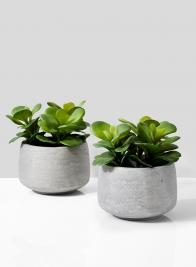 Desert Rose In Grey Pot, Set of 2