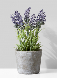 Lavender In Cement Pot
