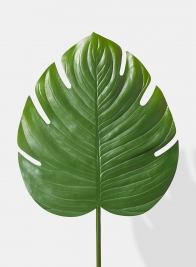 Large Monstera Leaf