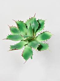 5in Star Cactus Pick