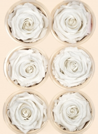 Preserved Angelic White Rose, Set of 6