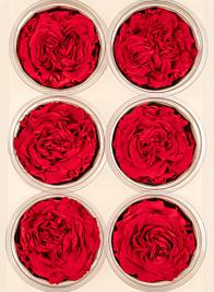 Preserved Red Garden Rose, Set of 6