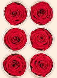 Preserved Red Rose, Set of 6