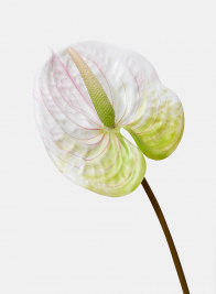 22in White Anthurium Spray