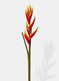 red orange silk heliconia flower