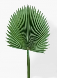47in Ruffled Fan Palm Leaf