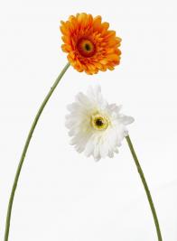 White & Orange Gerberas