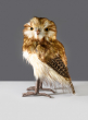 12in Brown Owl