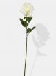 27in Open Cream Pippa Rose