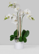 3 White Phalaenopsis Orchids In Pot