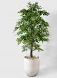 71in Ficus Tree