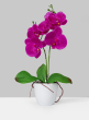 Purple Phalaenopsis Orchid In Pot