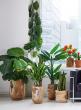 27in Sansevieria Trifasciata Snake Plant