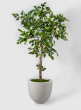 54in Mini Ficus Tree