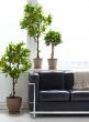 47in Lemon Tree