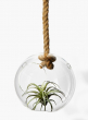 tillandsia in hanging glass ball