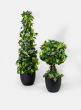 Ivy Leaf Ball Topiary