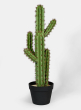 28in High Candelabra Cactus Plant