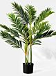 golden cane palm tree silk tree