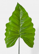 green princess leaf