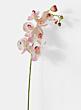 light pink phalaenopsis orchid